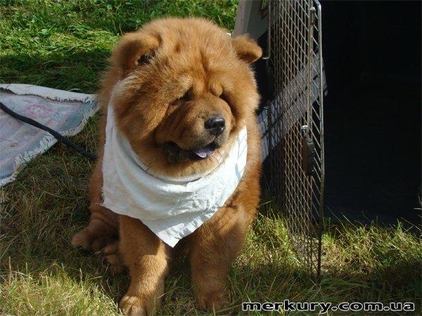 На выходных в Житомире прошла выставка собак «Грандус CАС. Полесье-2011» (ФОТО), фото-4