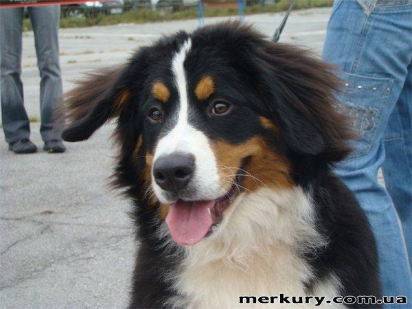 На выходных в Житомире прошла выставка собак «Грандус CАС. Полесье-2011» (ФОТО), фото-5