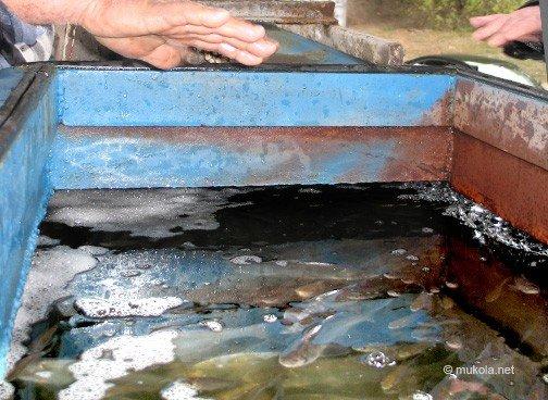 В Николаеве в реку выпустили более 20 тысяч мальков белого толстолобика (ФОТО), фото-2