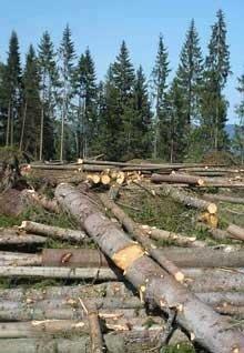 На Закарпатті працівники національного природного парку незаконно рубали ліс, фото-1