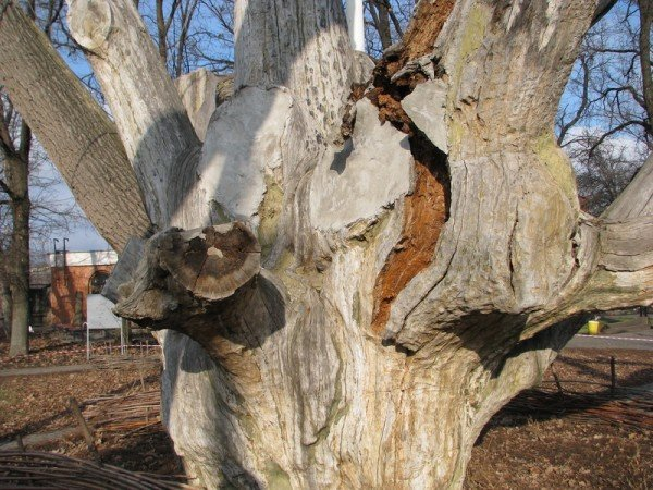ФОТОРЕПОРТАЖ: Чиновники пилят Запорожский дуб, фото-2