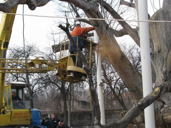 ФОТОРЕПОРТАЖ: Чиновники пилят Запорожский дуб, фото-4