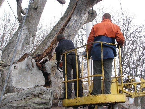 ФОТОРЕПОРТАЖ: Чиновники пилят Запорожский дуб, фото-8