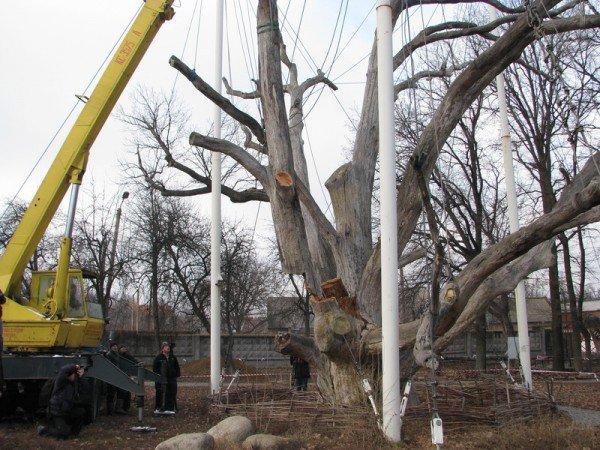 ФОТОРЕПОРТАЖ: Чиновники пилят Запорожский дуб, фото-9