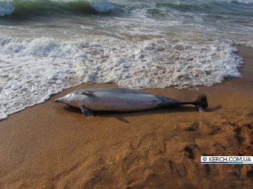 На крымский берег выбросило мертвого дельфина (фото), фото-1