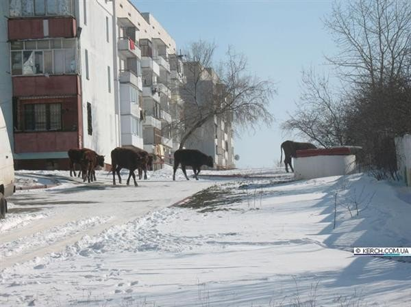 В Крыму коровы отогреваются на теплотрассах (фото), фото-1