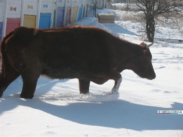 В Крыму коровы отогреваются на теплотрассах (фото), фото-2