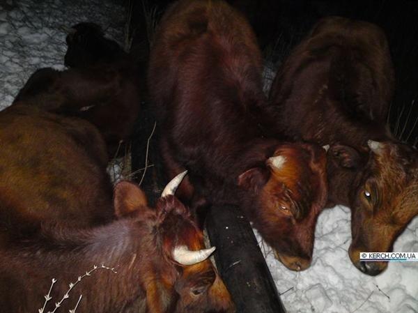 В Крыму коровы отогреваются на теплотрассах (фото), фото-5