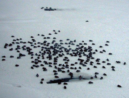 На Ужі знову визволяли качок з льдового полону (ФОТО), фото-2