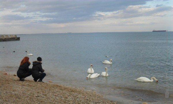 Феодосийцы приручают лебедей хлебом (фото), фото-8
