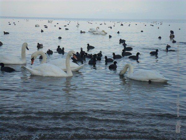 Феодосийцы приручают лебедей хлебом (фото), фото-2