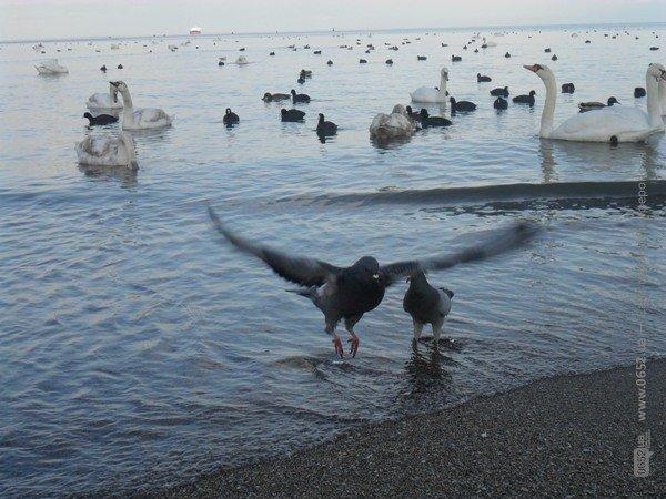 Феодосийцы приручают лебедей хлебом (фото), фото-3