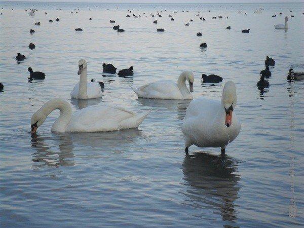 Феодосийцы приручают лебедей хлебом (фото), фото-4