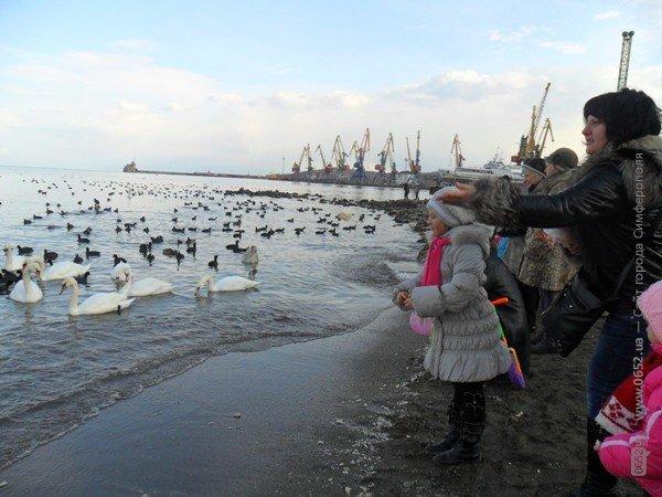 Феодосийцы приручают лебедей хлебом (фото), фото-5
