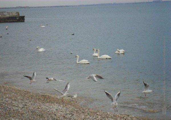Феодосийцы приручают лебедей хлебом (фото), фото-7