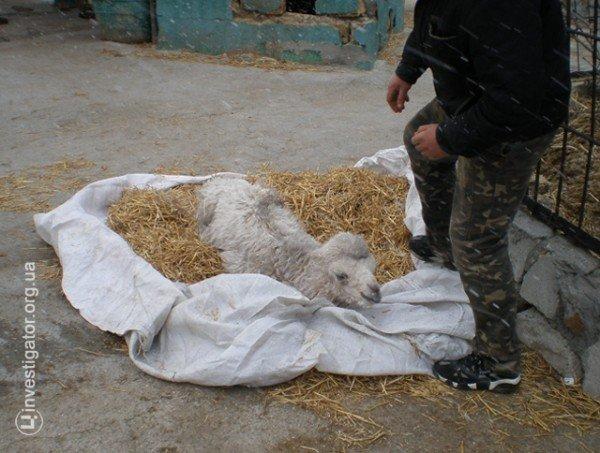 В Ялтинской «Сказке» родился белоснежный верблюжонок (фото), фото-1