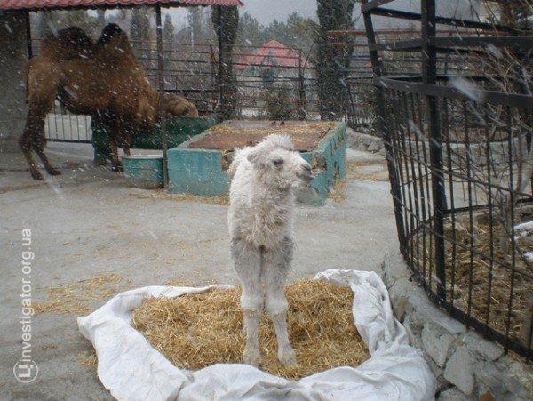 В Ялтинской «Сказке» родился белоснежный верблюжонок (фото), фото-2