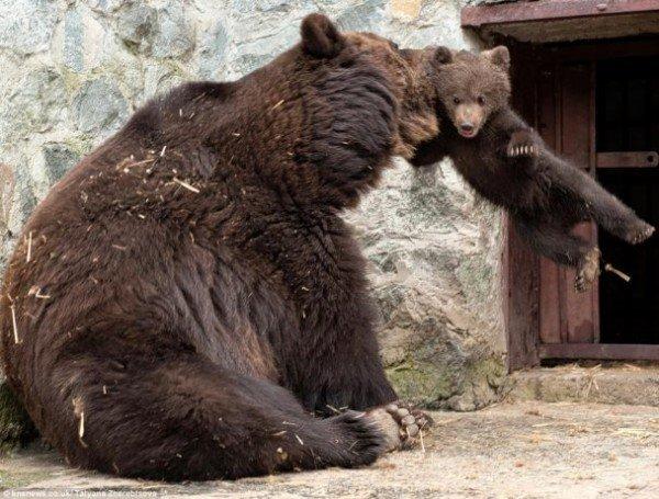 Симферопольская медведица показала, как надо воспитывать детей (фото), фото-2
