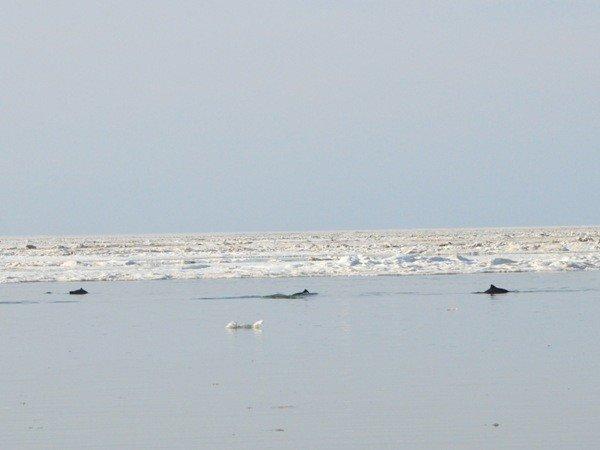 Дельфины, зажатые во льдах в Крыму, освободились сами (фото), фото-1