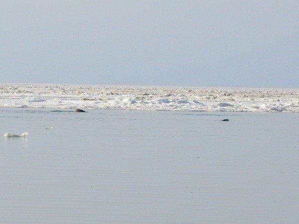 Дельфины, зажатые во льдах в Крыму, освободились сами (фото), фото-2