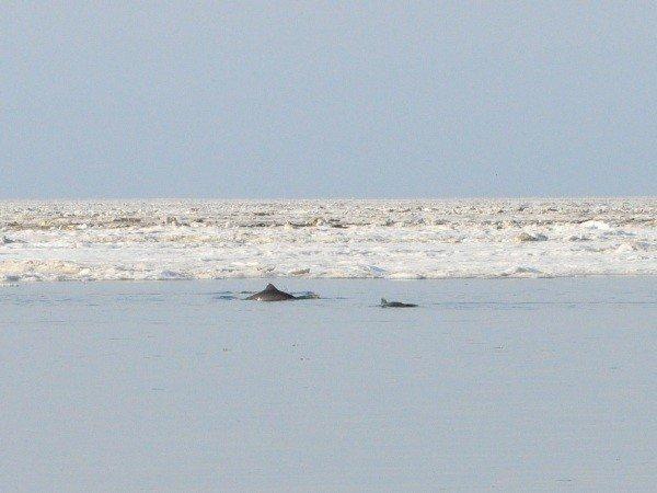 Дельфины, зажатые во льдах в Крыму, освободились сами (фото), фото-3
