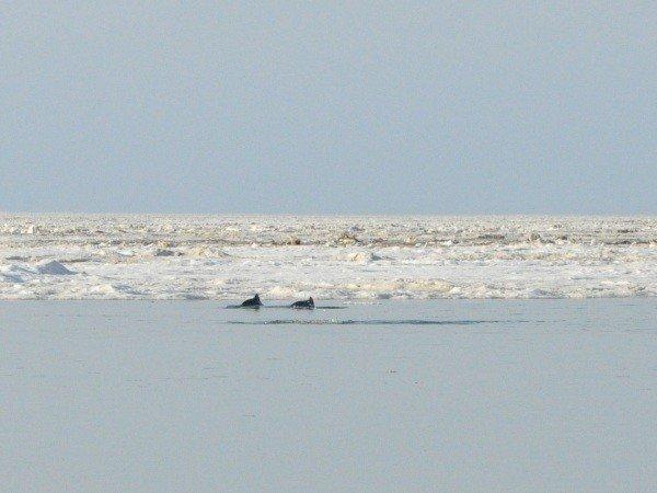Дельфины, зажатые во льдах в Крыму, освободились сами (фото), фото-4