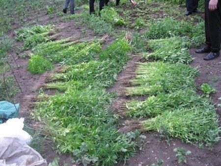 Житомирьска міліція виявила цілу плантацію конопель (ФОТО), фото-2
