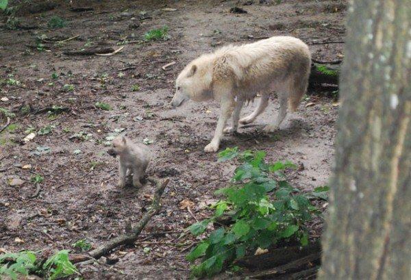 У Рівненському зоопарку вперше в Україні народились полярні вовки (ФОТО), фото-1