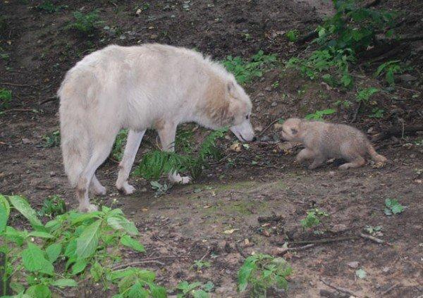 У Рівненському зоопарку вперше в Україні народились полярні вовки (ФОТО), фото-2