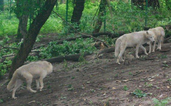 У Рівненському зоопарку вперше в Україні народились полярні вовки (ФОТО), фото-3
