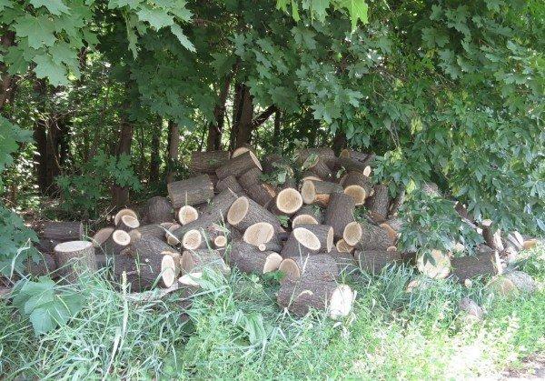 В Артемовском районе неизвестные уничтожают ценные дубы, фото-2