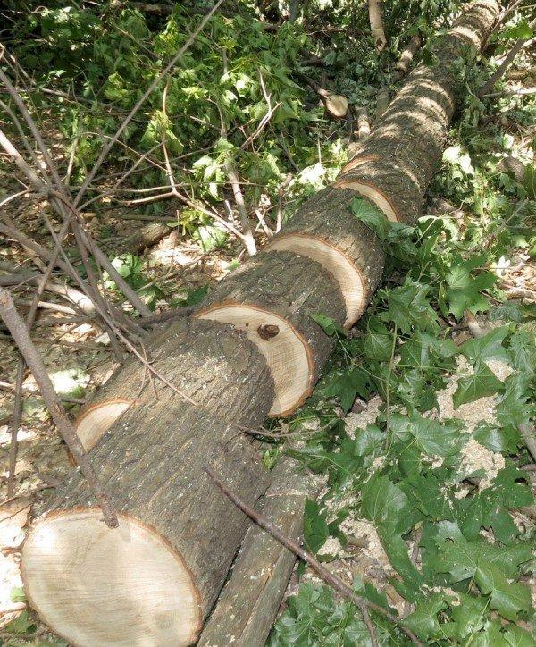 В Артемовском районе неизвестные уничтожают ценные дубы, фото-4