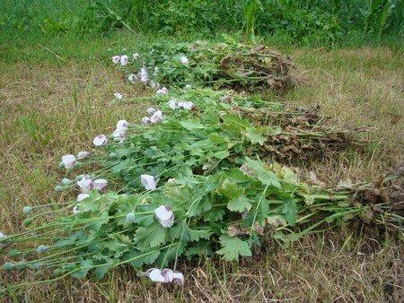 У Володарськ-Волинському районі боролися з посівами маку та конопель, фото-9