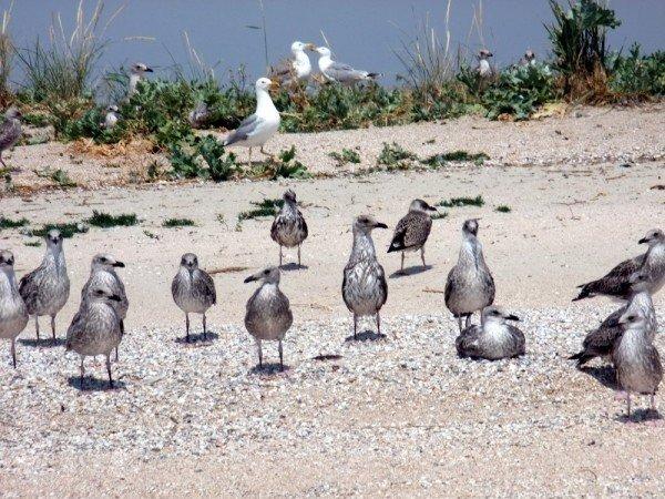 В Донецкой области разорили уникальные гнездовья кудрявых пеликанов (фото), фото-2