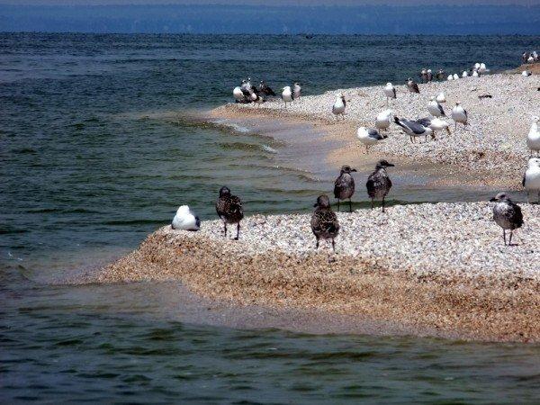 В Донецкой области разорили уникальные гнездовья кудрявых пеликанов (фото), фото-4
