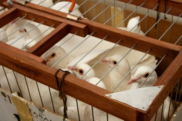 Сотня белоснежных голубей улетели в небо -  исполнять пожелания одесситов (Фото), фото-3
