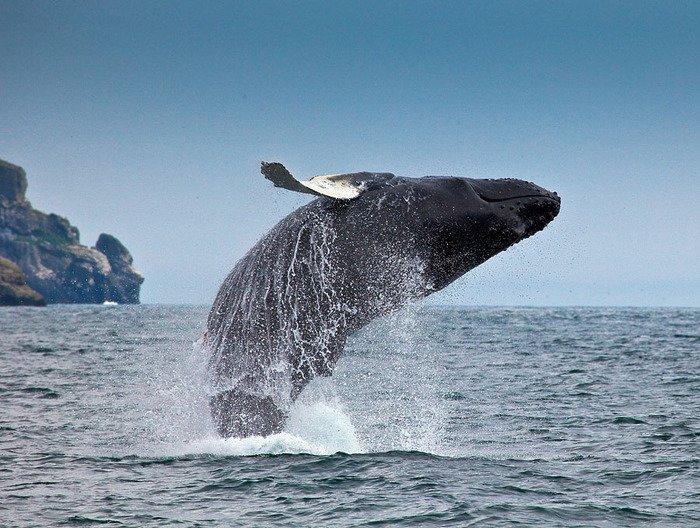 кит-горбач