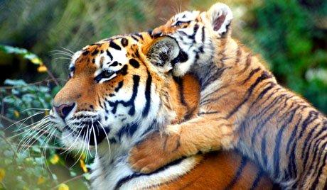 В Мариупольском зоопарке появились тигрята за 7 тыс. долларов каждый, фото-1