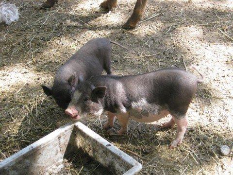 В мариупольском зоопарке запретили содержать свиней, фото-1