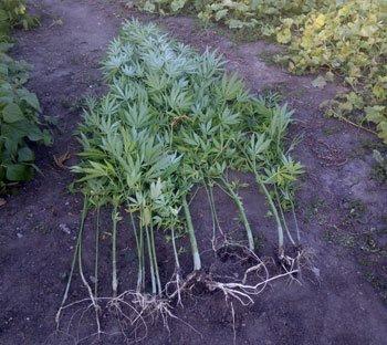 В Красноармейском районе выявили посев конопли, фото-1