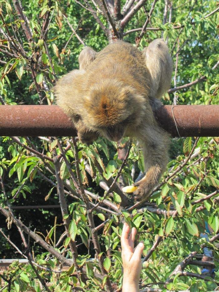 В Мариуполе японская макака убежала из зоопарка в... церковь (Дополнено ФОТО), фото-2