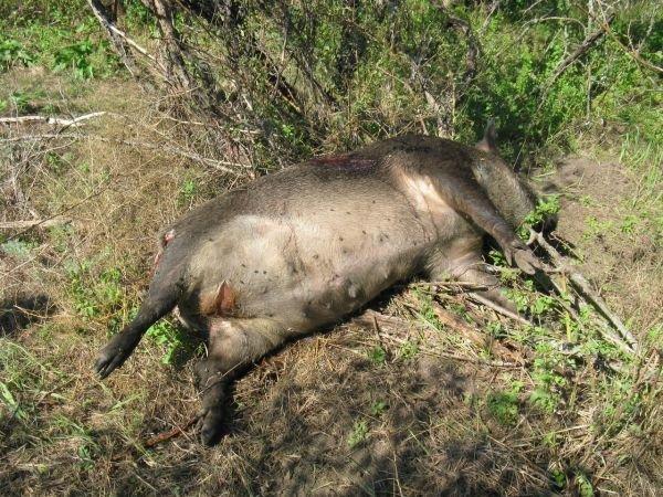 ФОТОФАКТ: на Хортице браконьеры застрелили дикого кабана, фото-1