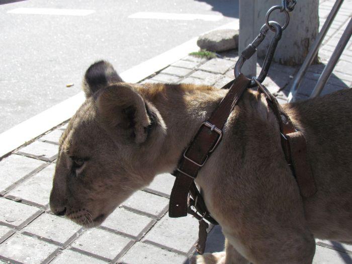 По Мариуполю разгуливает львица (ФОТО), фото-4