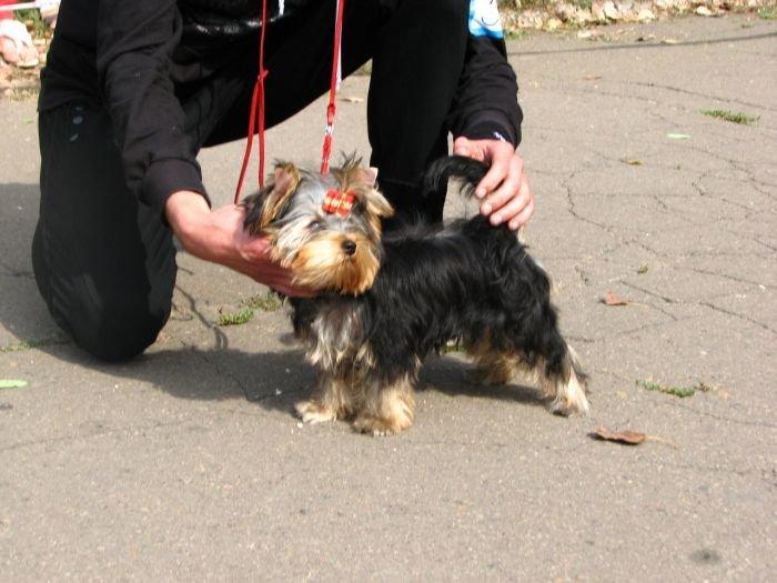 Кане корсо - самая послушная собака Мариуполя (ФОТО), фото-18