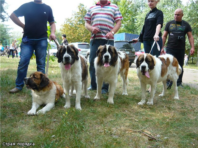 Кане корсо - самая послушная собака Мариуполя (ФОТО), фото-6