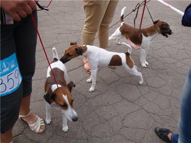 Кане корсо - самая послушная собака Мариуполя (ФОТО), фото-9