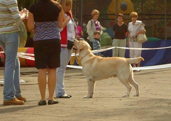 Кане корсо - самая послушная собака Мариуполя (ФОТО), фото-15