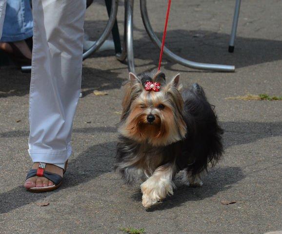 Кане корсо - самая послушная собака Мариуполя (ФОТО), фото-7