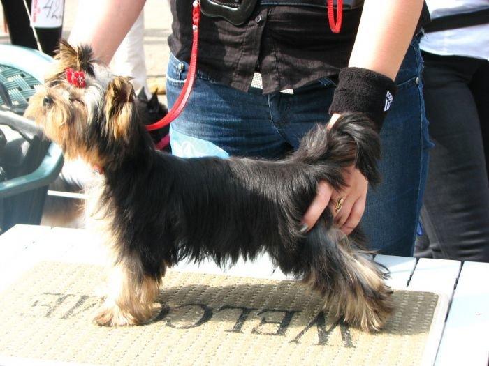 Кане корсо - самая послушная собака Мариуполя (ФОТО), фото-11