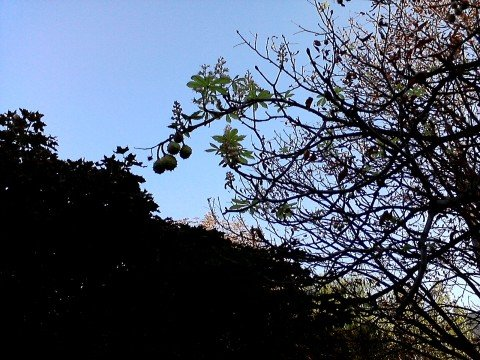 В Мариуполе могут снова зацвести каштаны, фото-1